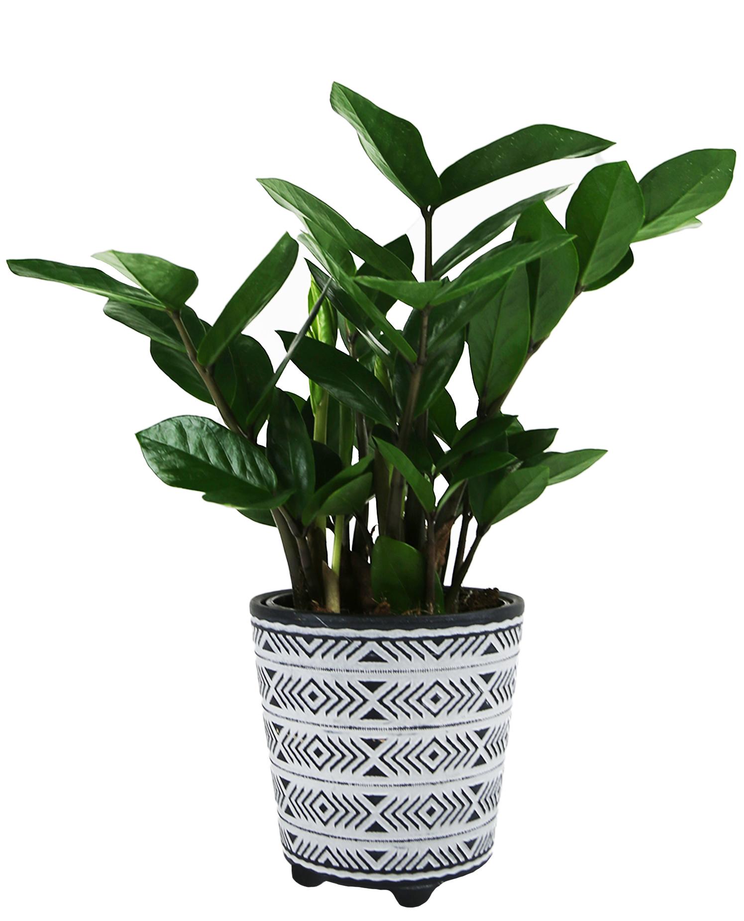 Miles Arrow Feet 5in_ZZ Plant Select Foliage