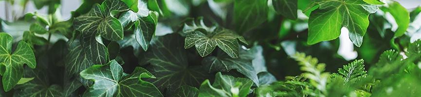 body-ivy