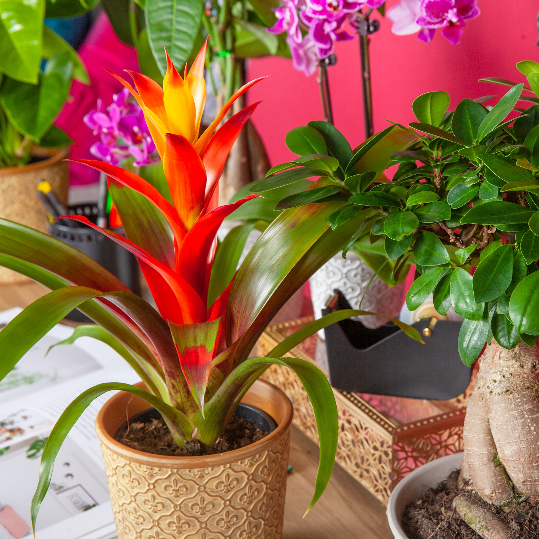 A bright orange and yellow potted bromeliad
