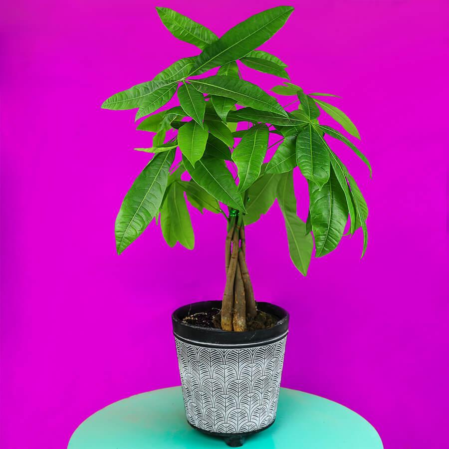 Care-Money-Tree