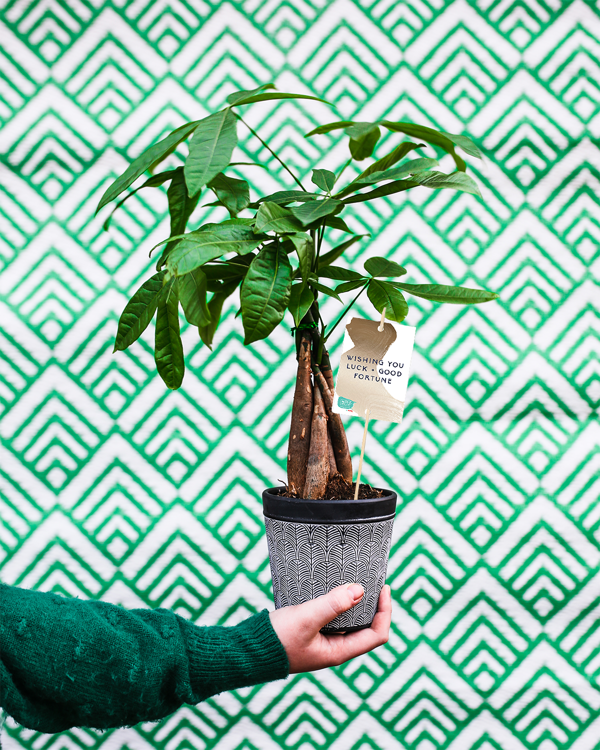 Luck money tree plant
